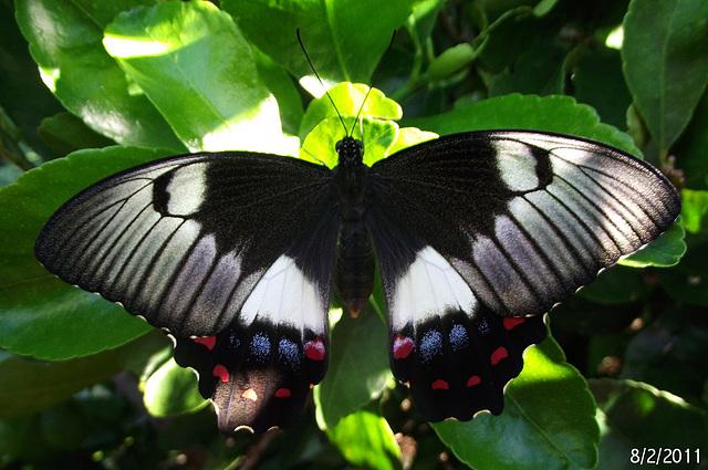 Papilio aegeus 4 (Female)