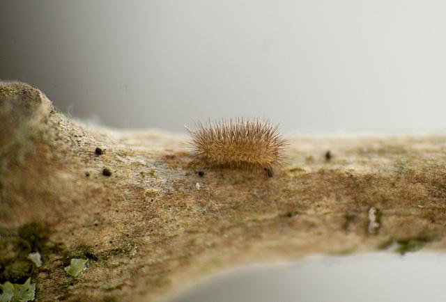 Patio Life: Rosy Footman Moth Caterpillar