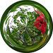red hibiscus ..