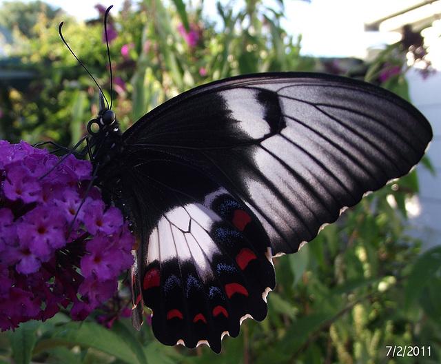 Papilio aegeus 3rd (Female)