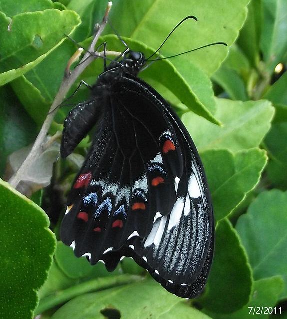 Papilio aegeus 2nd (Male)