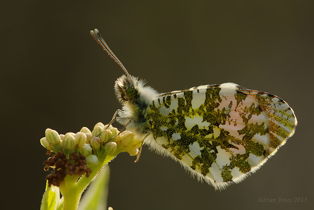 Orange Tip Butterfly. (Male)