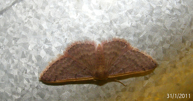 Idaea costaria (Possibly)