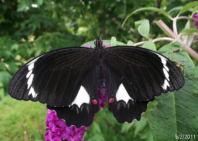 Papilio aegeus (Male) Emerged