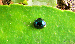 Shiny bug on leaf