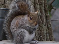 Grey Tree Rat!