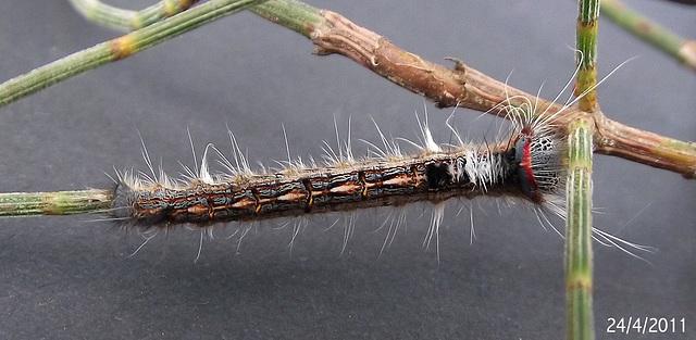 Pernattia pusilla Caterpillar