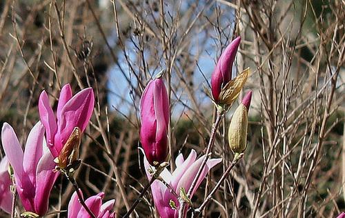 Magnolia a -boutons