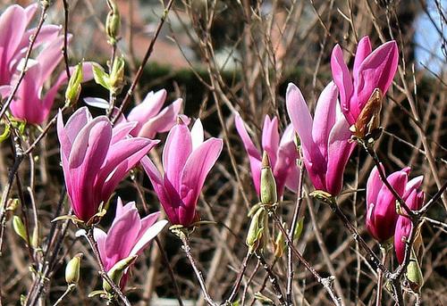 Magnolia a - floraison