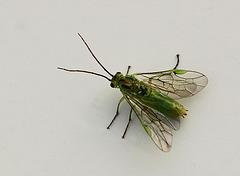 Small Sawfly Needs Name