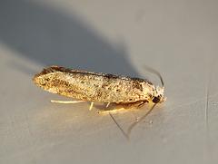 Yponomeutinae sp.