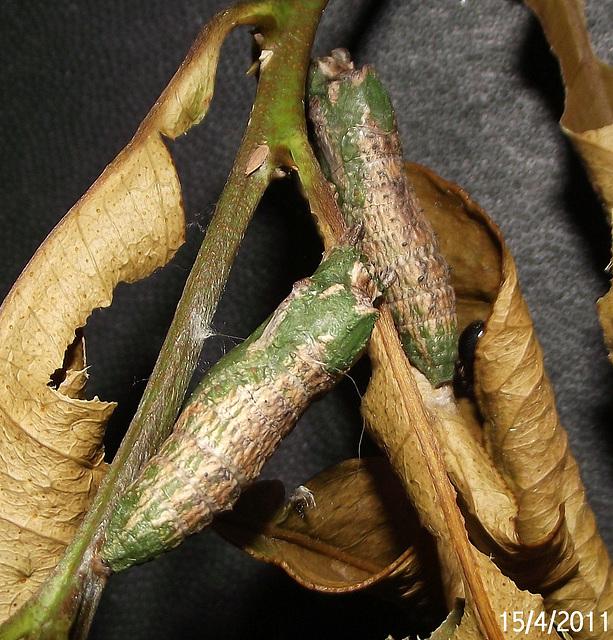 Papilio anactus Chrysalis