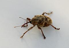 Nut Weevil