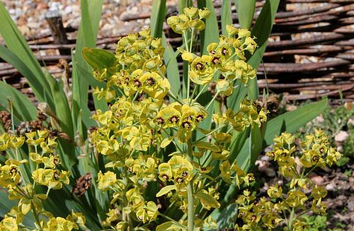 Euphorbia characias variegata (2)