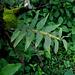 20090924-0159 Dendrobium sp.