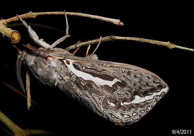 Trictena atripalpis (probably)