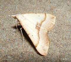Anachloris subochraria