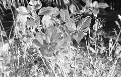 Dry hydrangea macrophylla