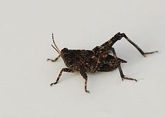 Common Groundhopper
