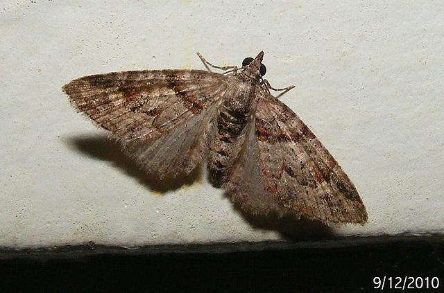 Phrissogonus laticostata (Female)