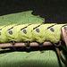 Agrius convolvuli 5th instar