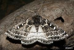 Anthela denticulata (Female)