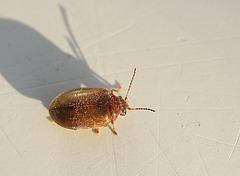 Tiny Beetle Needs Name