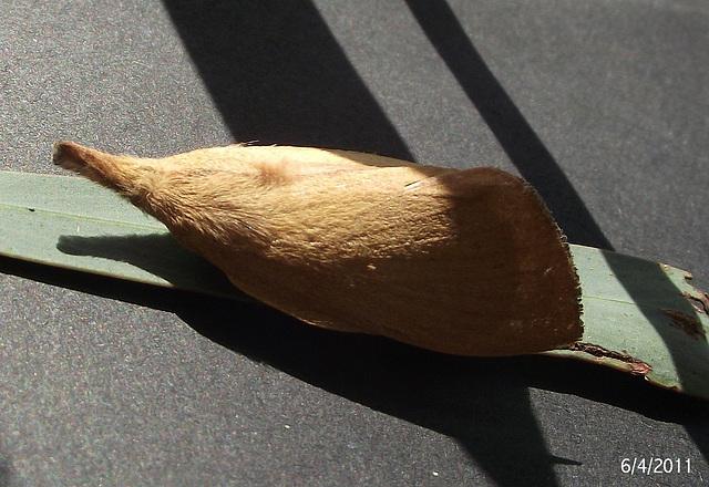 Pararguda species