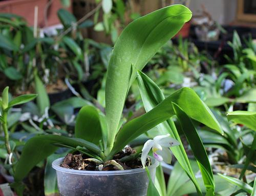 Phalaenopsis micholitzii x tetraspis (6)