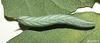 Agrius convolvuli Caterpillar Day 13