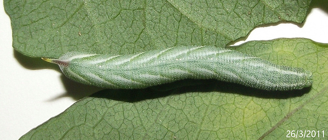 Agrius convolvuli Caterpillar Day 13