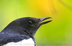 Oriental Magpie Robin ( Male )