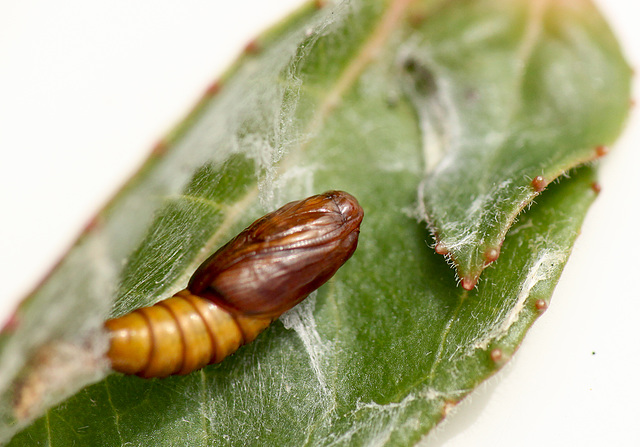 Patio Life: Light Brown Apple Moth Pupa