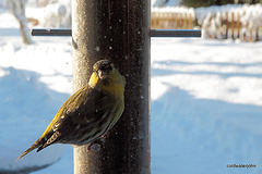 Siskin having an early morning (cold) breakfast