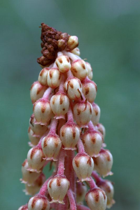 Pine-drops
