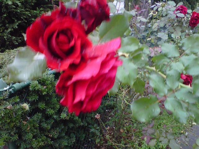 Greenbelt Roses