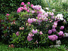 Some rhododendron in my garden