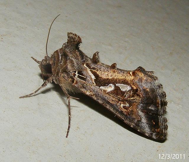 Chrysodeixis argentifera