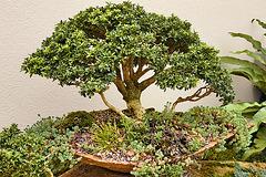 Bonsai Boxwood – United States Botanic Garden, Washington, D.C.