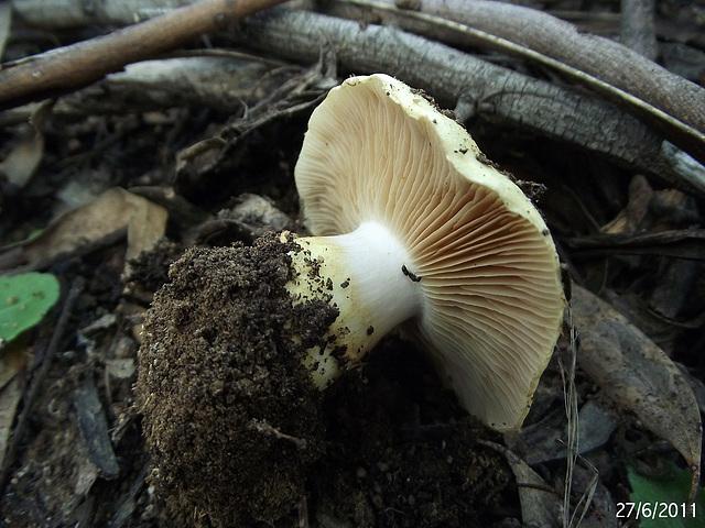 Cortinarius species