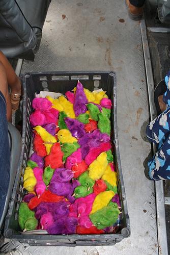 Multi-Coloured Chickens