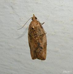 Tortricidae species
