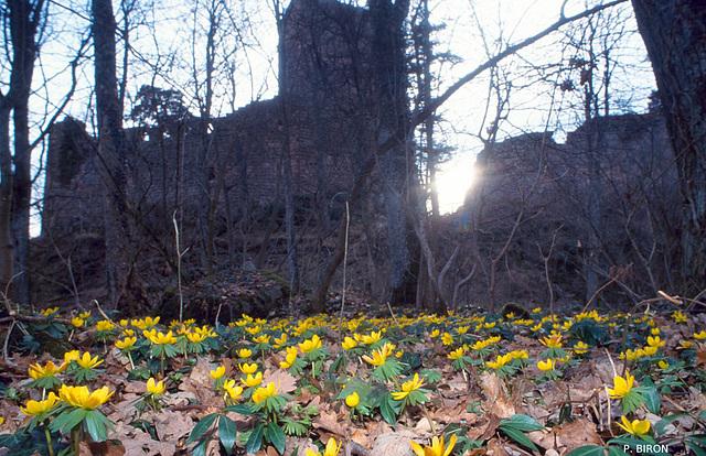 Eranthes d'hiver au Landsberg