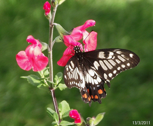 Papilio anactus