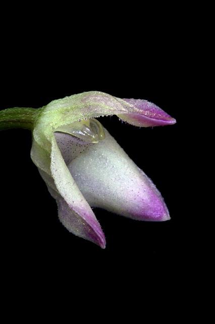 Porroglossum hirtzii