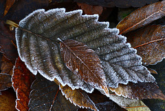 Fallen and Frosted