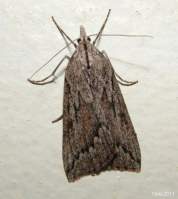 Rhynchopsota rhyncophora