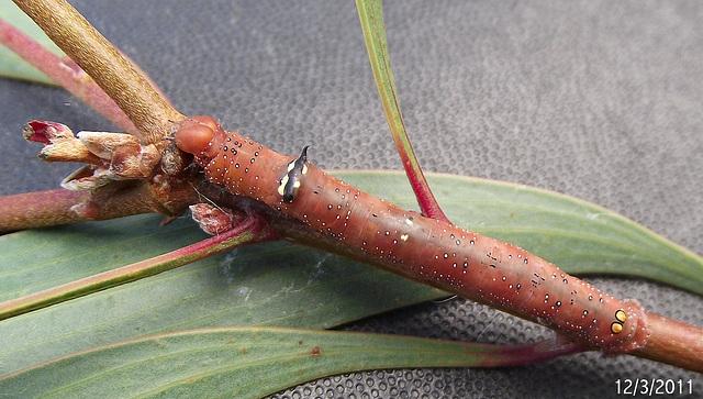 Oenochroma vinaria Caterpillar