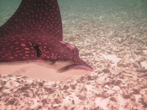 Spotted Eagle Ray Swims By