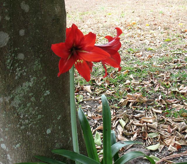 Amaryllis of red ..